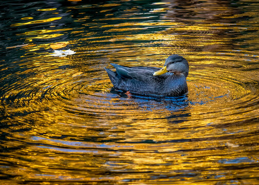 Duck Swiming in Golden Waters - Duck enjoying a swim in a pond on a very beautiful autumn day in late October. The waters have a golden glow from the bright sun overhead.