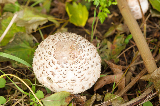 Closeup of a wild Scleroderma citrinum mushroom in meadow with grass