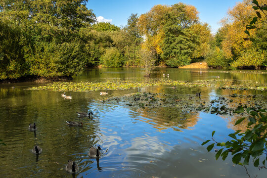 Canada Geese (Branta canadensis) swimming in the sunshine at a lake in Sussex