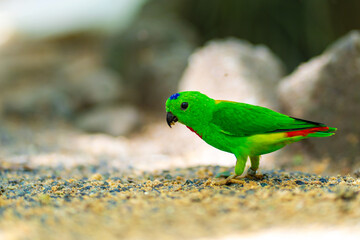 Very small and cute bright green parrot loriculus galgulus or blue crowned parrot, biting food