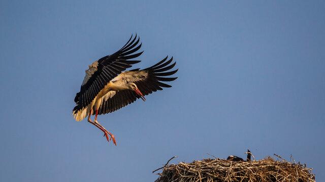 White stork in flight landing on the nest, Po valley, Italy