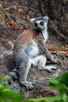 Ring tailed lemur looking at camera. Isalo National Park. Madagascar