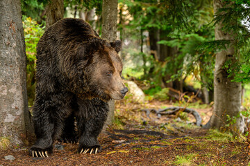 A male grizzly bear (Ursus arctos horribilis) in the woods