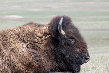 Fototapeta American Bison sleeping on the prairie.in the Badlands