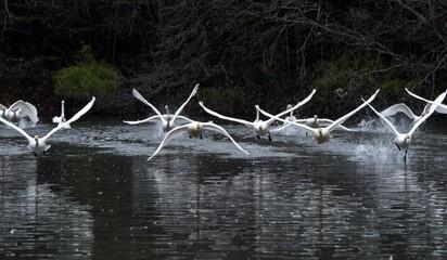 白鳥が飛び立つところ