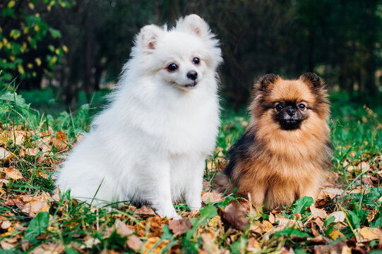 White and brown spitz sit in yellow autumn foliage