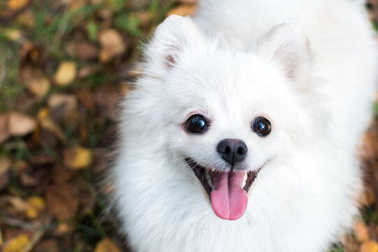 Pomeranian white dog portrait in leaves close up