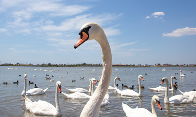 White swan closes. Swan on the background of a flock of swans