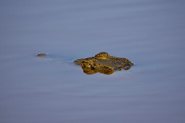 Crocodile in the river, crocodile muzzle, crocodile looks out of the water