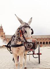 portrait of carriage donkey in Seville (Plaza de Espana), Spain