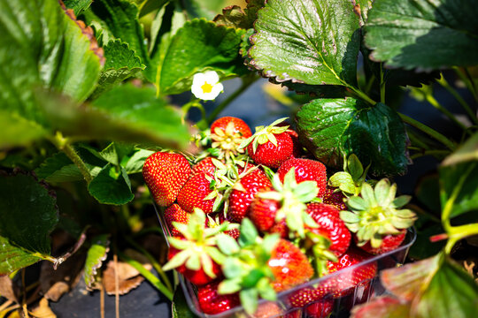 Plastic container box closeup of many red strawberries berries ripe on vine in farm garden picking fruit with white flower