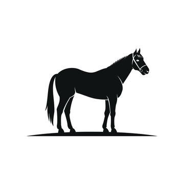 black horse wearing horse halter standing