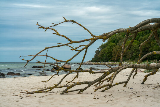 Huge branches of a fallen tree on the beach