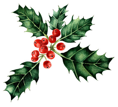 Watercolor Christmas holly with red berries. Winter traditional floral. Isolated on white background. Drawn by hand.