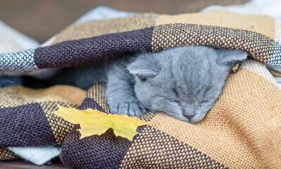 Kitten sleeps on a warm plaid and holds autumn leaf