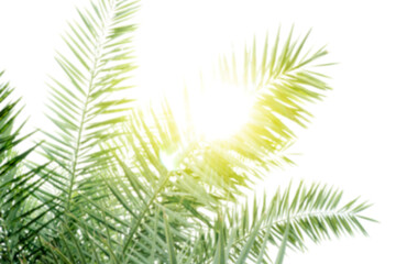 blurred date palm tree with sunlight shines for background, leaf date palm and sun shine in farmland