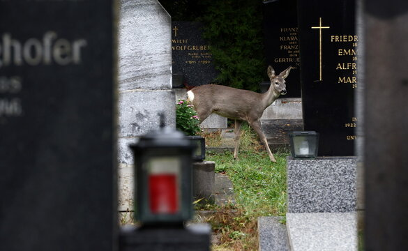 A deer is seen between tombstones at the Zentralfriedhof cemetery on an autumn day ahead of All Saints Day in Vienna