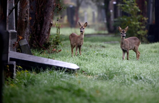 Deer are seen between tombstones at the old Jewish part of the Zentralfriedhof cemetery on an autumn day ahead of All Saints Day in Vienna