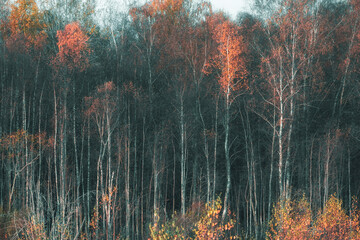 natural background from forest of birch trunks and autumn leaves
