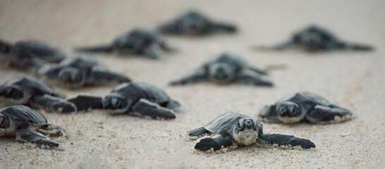 Green Sea Turtle Hatchlings