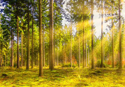 Coniferous forest with moss cover on the bottom at sunrise with warm sunlight and yellow-orange halo of sun rays in backlight through the trees and beautiful effect of shady spots and sun-lit spots