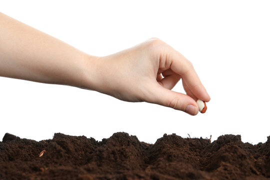Woman putting bean into fertile soil against white background, closeup. Vegetable seed planting