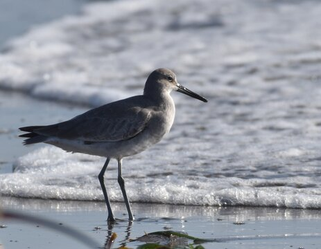 A willet (Tringa semipalmata) standing in the surf on Moss Landing Sate Beach in California