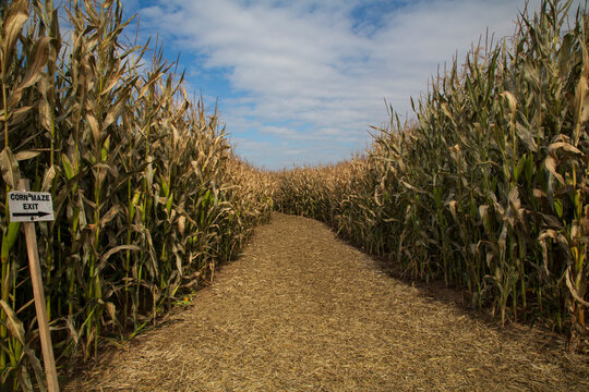 A daytime, idyllic view of the entry to a corn maze with blue sky and white clouds