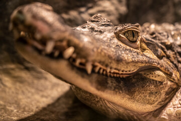 Head of a large crocodile close-up in the zoo