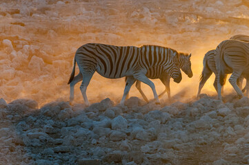 Burchells zebras walking at sunset