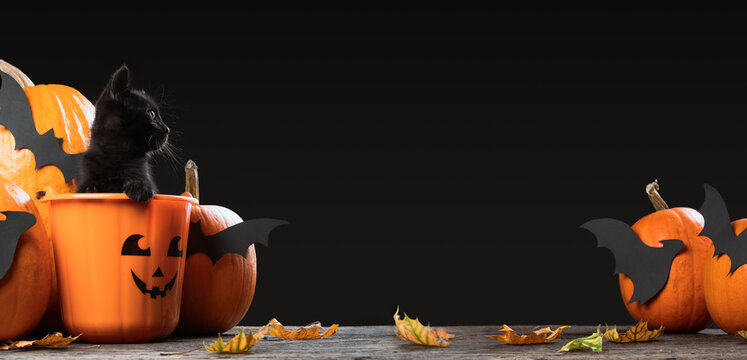 Writeable Halloween consept. An adorable black kitten sitting in halloween trick or treat bucket looking inside the picture with pumpkins and bats isolated on gray background.