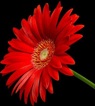 rote Gerbera Blüte Seitenansicht, freigestellt mit schwarzen Hintergrund, 2