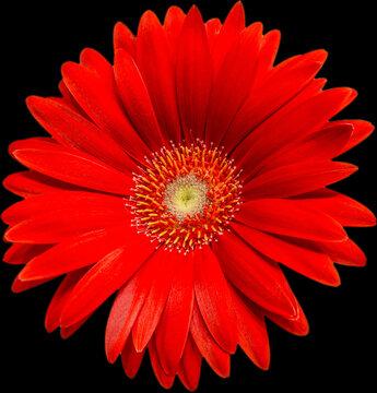 rote Gerbera Blüte Vorderanansicht, freigestellt mit schwarzen Hintergrund
