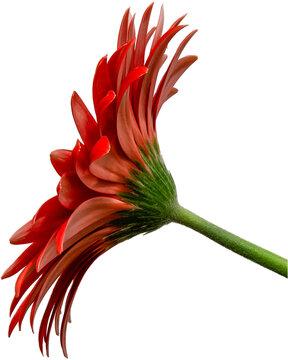 rote Gerbera Blüte Seitenansicht, freigestellt mit transparenten Hintergrund