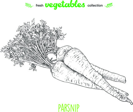 Parsnip. Detailed line art. Freehand drawing. Vector vegetables. Collection of fresh vegetables.
