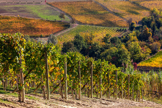 Vineyards on the hills of Langhe in Northern Italy.