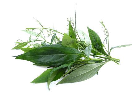 close up Andrographis paniculata plant leaves Ayurveda herbal medicine