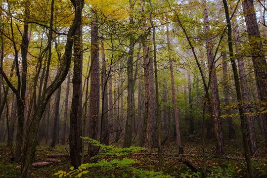 beautiful autumn trees in the mist
