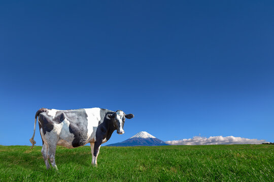 青空と富士山を背景にした高原の牧場で草を食む乳牛1頭
