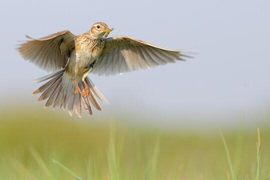 Eurasian skylark. Bird in flight. Flying bird in sky. Alauda arvensis