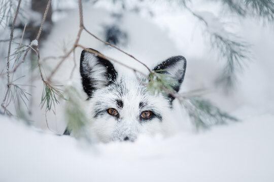 white fluffy fox in the snow. wild animal in nature