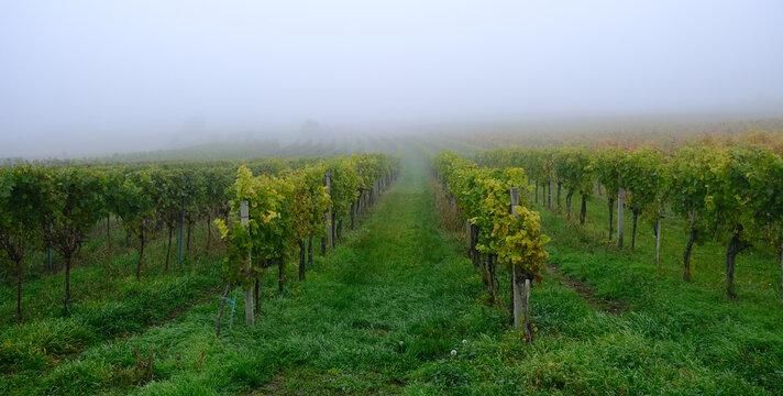 autumn vineyards in the mist