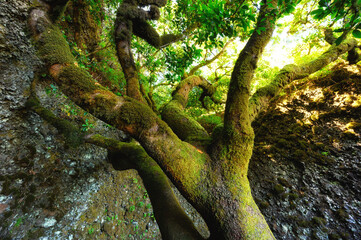 Sacred tree Garoe in El Hierro island, Canary Islands, Spain. High quality photo