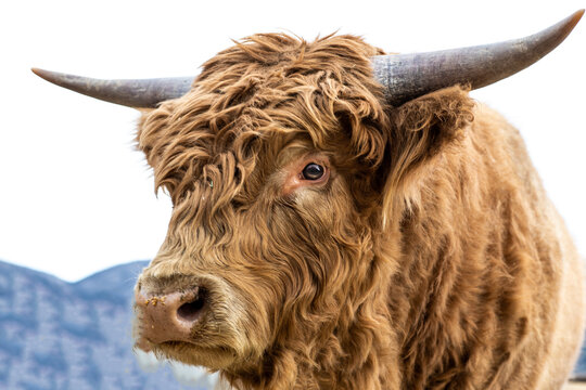 Atlas the Bull Scottish Highlander Cattle of Steamboat Springs, Colorado