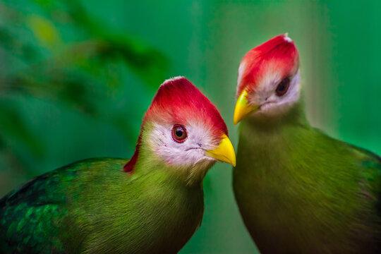 Turaco mit rotem Schopf, Tauraco-erythrolophus, seltener farbiger grüner Vogel mit rotem Kopf