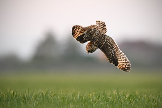 Short-eared owl flyes above field