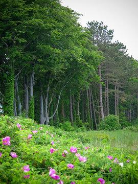 Landschaft mit Hecken von Rosen und Buchen nahe der Ostsee