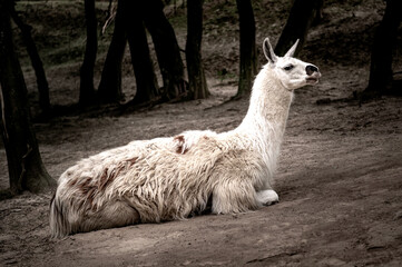 White llama lying on the ground. Cute white alpaca, resting on the ground. Lama living in captivity in a zoo. View of the lying llama