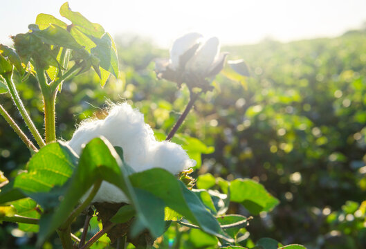 White Cotton Growing In Countryside Field