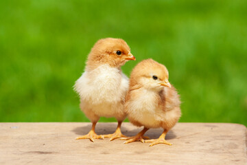 Newborn couple chicken. Animal friendship. Twin cute yellow chicken outdoor